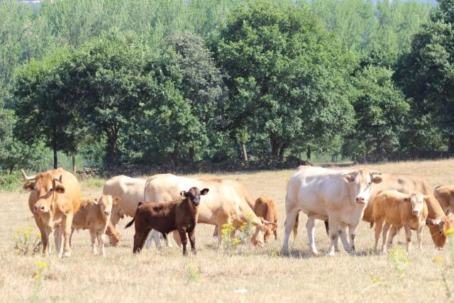 Ternera Gallega – Kalbfleisch aus Galicien